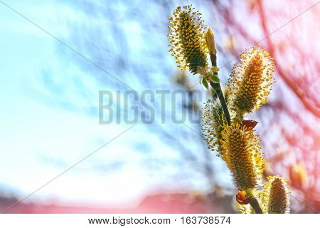 Blossoming branch of a willow on a background summer landscape.