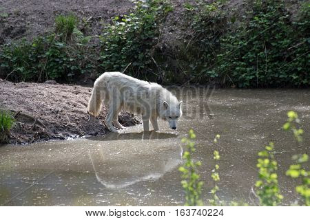 White arctic wolf (Canis lupus arctos) on a hill, in the background a forest