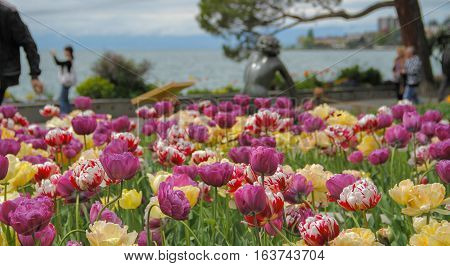 Beautiful tulips in the park near the lake