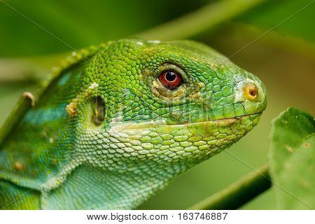Portrait Of Male Fiji Banded Iguana (brachylophus Fasciatus) On Viti Levu Island, Fiji