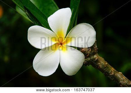 White plumeria flower on a tree, against dark background