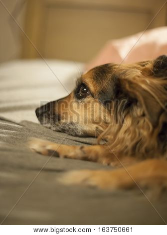 Small German shepard dog lost in thought