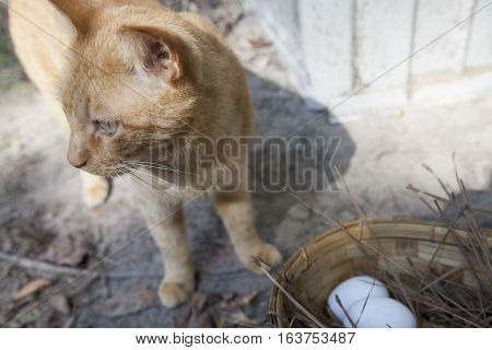 Yellow tabby cat sneaking eggs from a basket outside