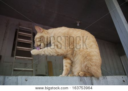 Yellow tabby cat without a collar grooming outdoors