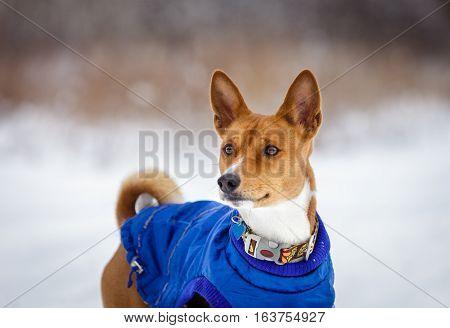 Basenji Dog Walking In Winter Forest
