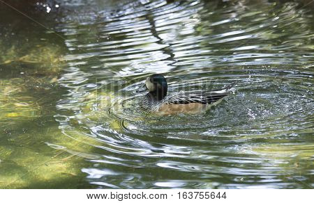 American widgeon duck (Anas americana) swimming in a lake