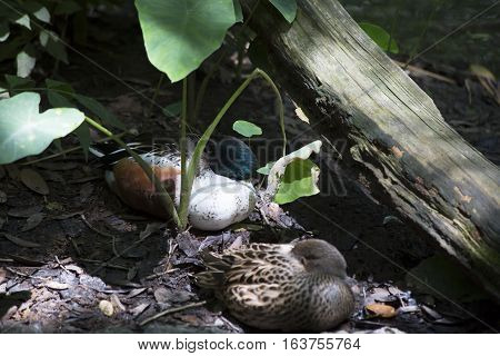 American widgeon ducks (Anas americana) protecting their beaks and necks while resting