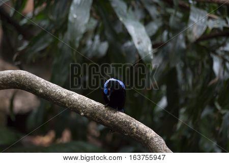 Asian fairy bluebird (Irena puella) grooming on a branch