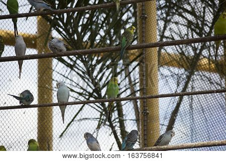 Multicolored budgie birds perched along a fence