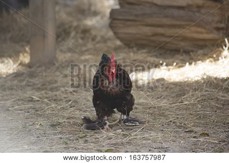 A rooster keeping watch in a barnyard