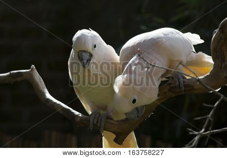 Two salmon-crested cockatoos on a bare limb
