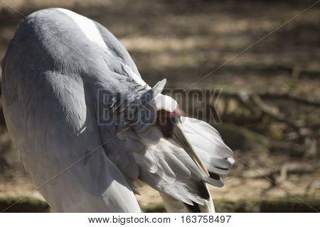 Sandhill crane (Antigone canadensis) grooming against a natural background