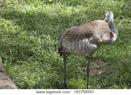 Sandhill crane (Antigone canadensis) grooming in the spring