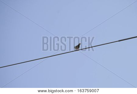 Eurasian collared-dove (Streptopelia decaocto) on a wire