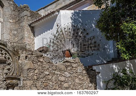 Portugal Evora . Peacocks on the ruins of an ancient temple on a sunny spring day.