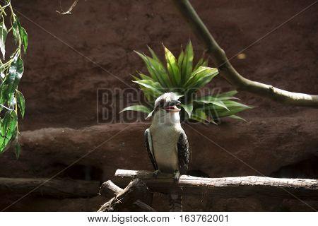 Laughing kookaburra (Dacelo novaeguineae) on a perch