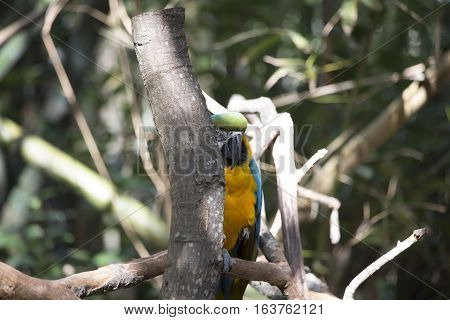 Blue and yellow macaw partially hidden behind a tree