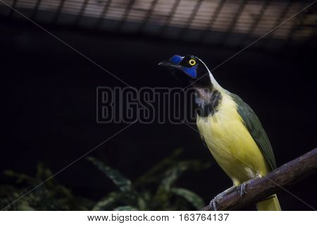 Close up of a plush-crested jay (Cyanocorax chrysops) in a cage