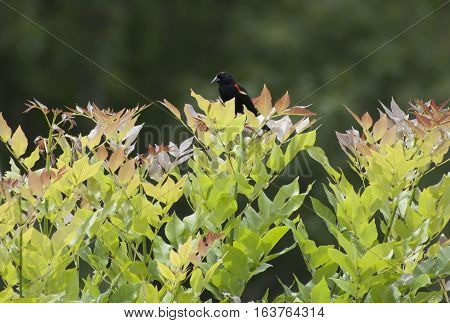 Red-winged blackbird perched at the top of a bush