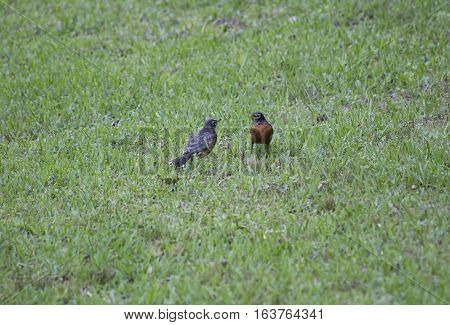 One American robin feeding another robin on a lawn