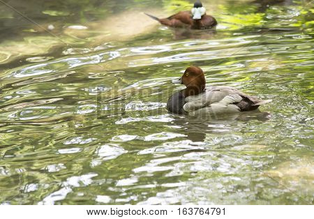 Redhead duck and ruddy duck swimming in a pond