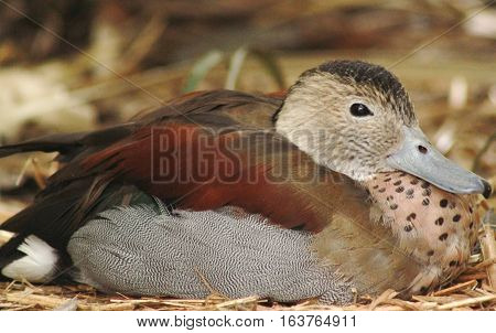 Ringed teal duck resting in a natural habitat
