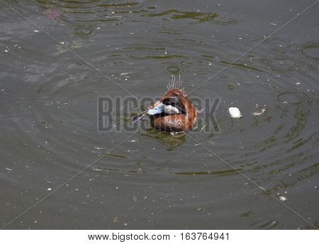 Ruddy ducks (Oxyura jamaicensis) in a small pond
