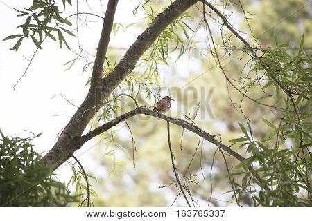 Lonely thrush bird perched on a limb
