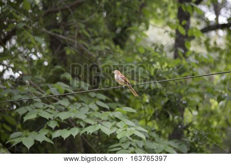 Lonely thrush bird on a wire with a natural background