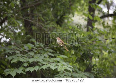 Lonely thrush bird on a wire with trees and leaves in the background