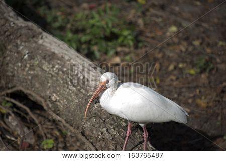 White ibis (Eudocimus albus) on a log
