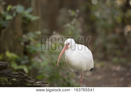 Close up of a white ibis bird