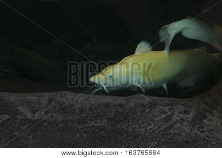 Close up of leucistic blue catfish (Ictalurus furcatus)