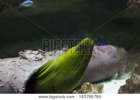 Close up of a green moray eel (Gymnothorax funebris)