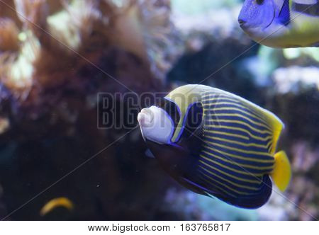 Close up of an emperor angelfish (Pomacanthus imperator)