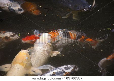 Koi (Cyprinus carpio), also called nishikigoi, fighting for food pellets at the top of the water