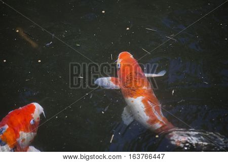 Koi (Cyprinus carpio), also called nishikigoi, swimming toward food pellets at the top of the water