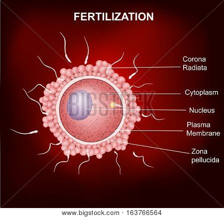 Vector illustration of Human fertilization, Insemination of human egg cell by sperm cell