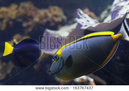 Close up of a blonde naso tang and damselfish swimming