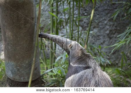 Giant anteater (Myrmecophaga tridactyla) also called an ant bear searching for insects on a tree