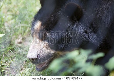 Close up of an Andean bear (Ursus ornatus) inside a fence
