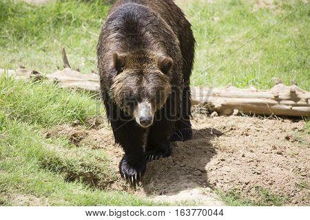 Brown bear (Ursus arctos) standing in a pasture