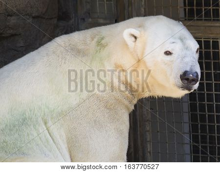 Close up of a polar bear (Ursus maritimus)