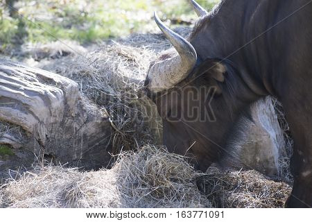 Cape buffalo (Syncerus caffer) grazing on hay
