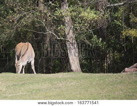 Eland antelope grazing in an open field