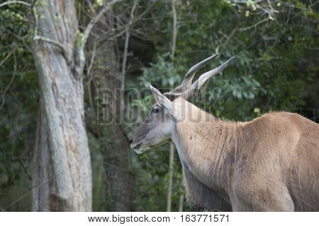 Eland antelope standing in the shade in a field