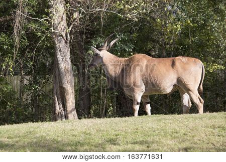 Eland antelope standing in a single shady spot in a field