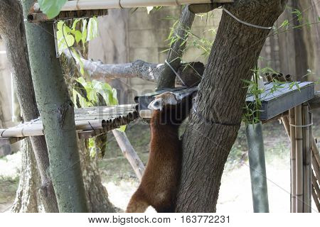 Red panda (Ailurus fulgens), or red bear-cat, climbing up a tree