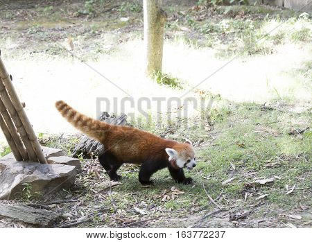 Red panda (Ailurus fulgens), or red bear-cat, on grassy lawn