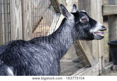 Close up of a black and white goat bleating